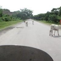 Cows In Road Nicaragua
