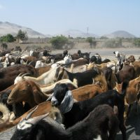 Peru Herding Goats